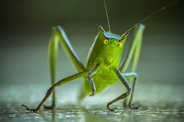 cricket-1345065_640