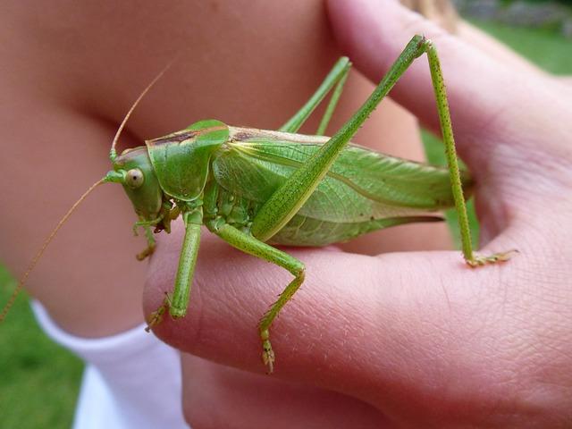 grasshopper-1606053_640