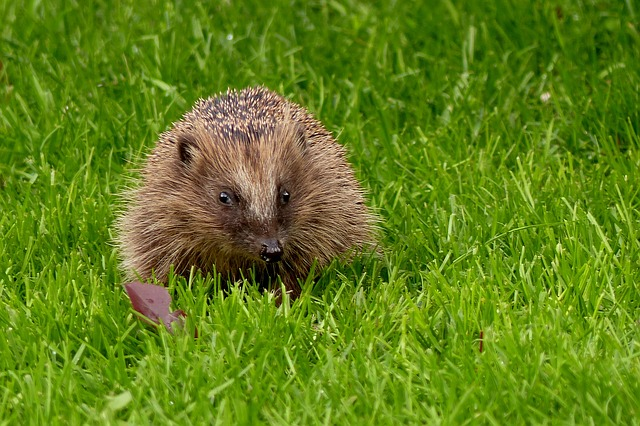 hedgehog-1376817_640