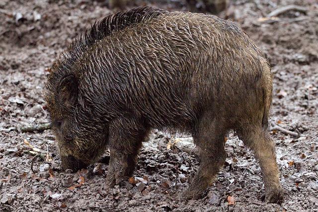 wild-boars-657916_640